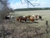 Rodeo Cattle - 1
