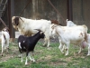 The Goats on the loose!