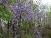 Wisteria at Mile 18.jpg