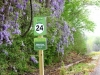 Wisteria at Mile 24.jpg